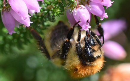Learn how to identify common bees in Ireland