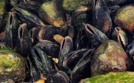 Freshwater Pearl Mussel–Saving an ancient species under threat. 17 March