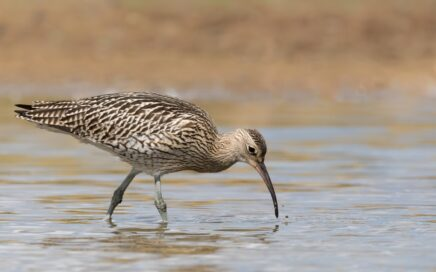 Read about conservation actions to protect the Eurasian Curlew in Ireland