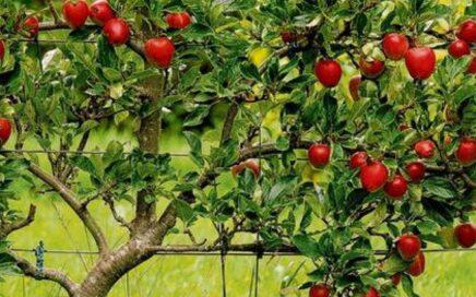 Plant an apple tree