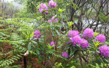 Watch this video on rhododendron control in Killarney National Park