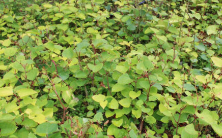 Learn about Japanese Knotweed