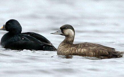 Common Scoters – rare breeding ducks on Lough Corrib. 7 April